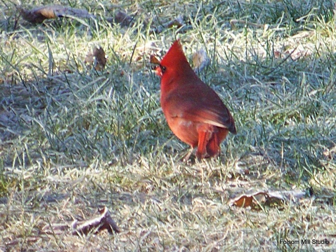 Cardinal on a frosty NH  morning