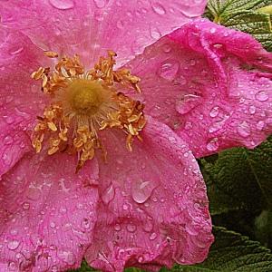 soaken wet beach rose blossom