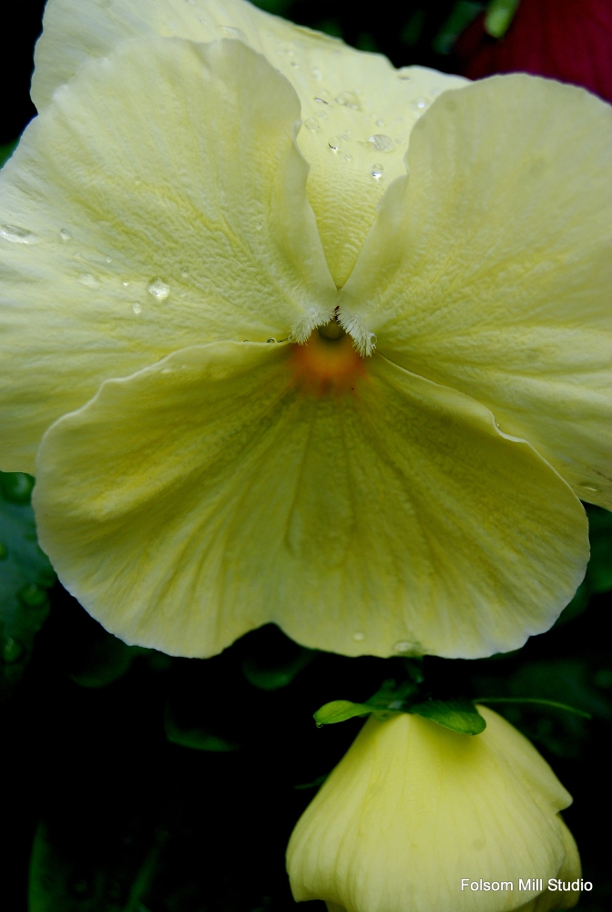 Pale Yellow Pansy