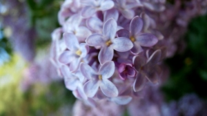 NH State Flower Lilac
