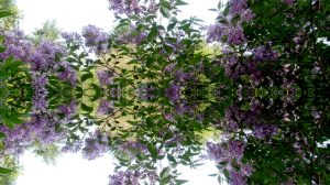 Lilac Reflections