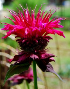 Bee Balm Blooms