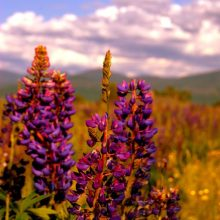 lupine in sugar hill by e.miller