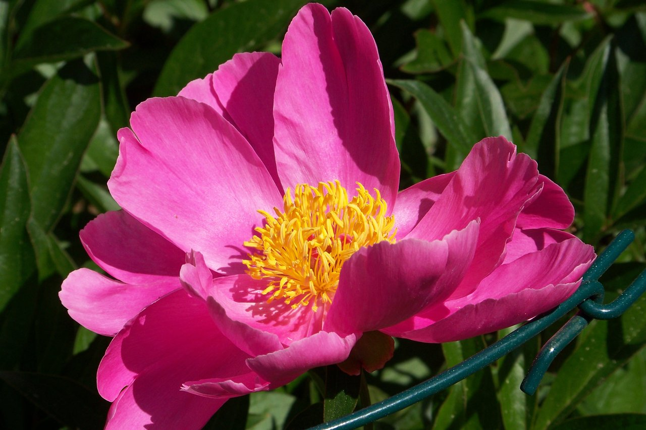 Pink Poppy fully open