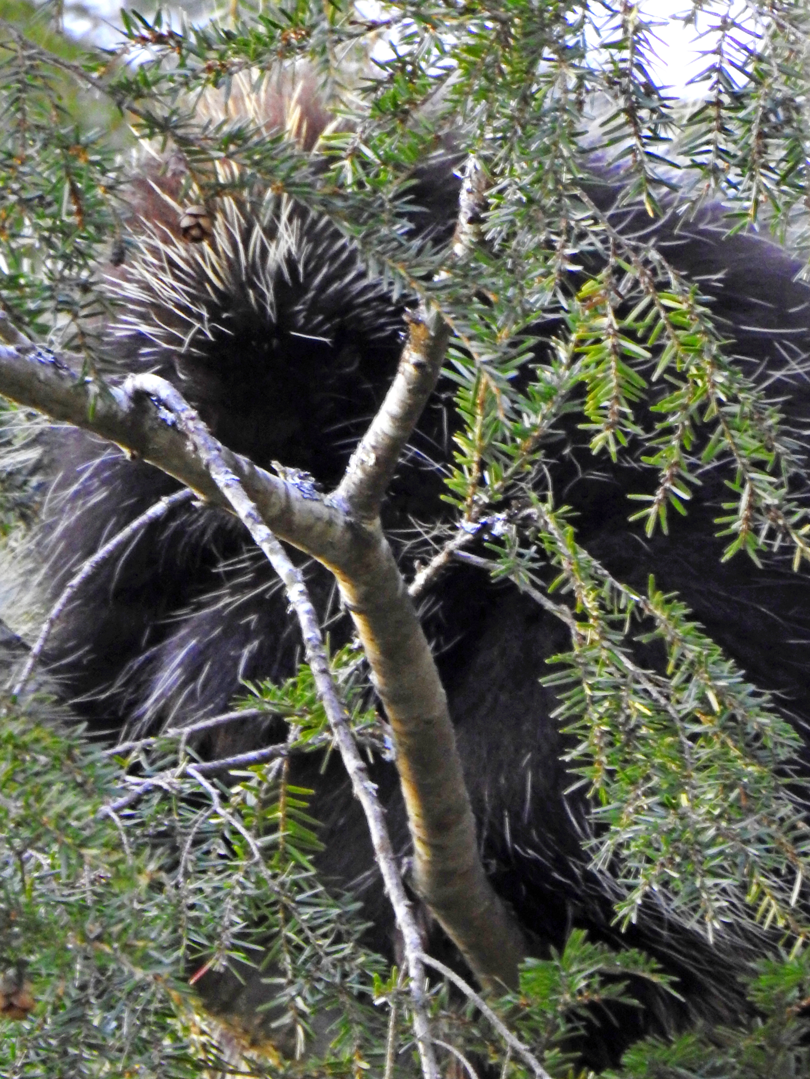 Porcupine in NH Forest