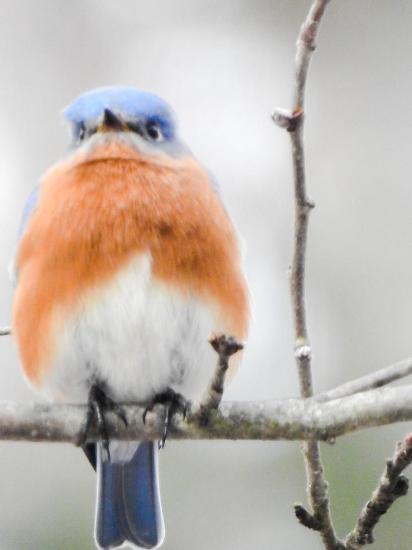 Bluebird in backyard here in NH