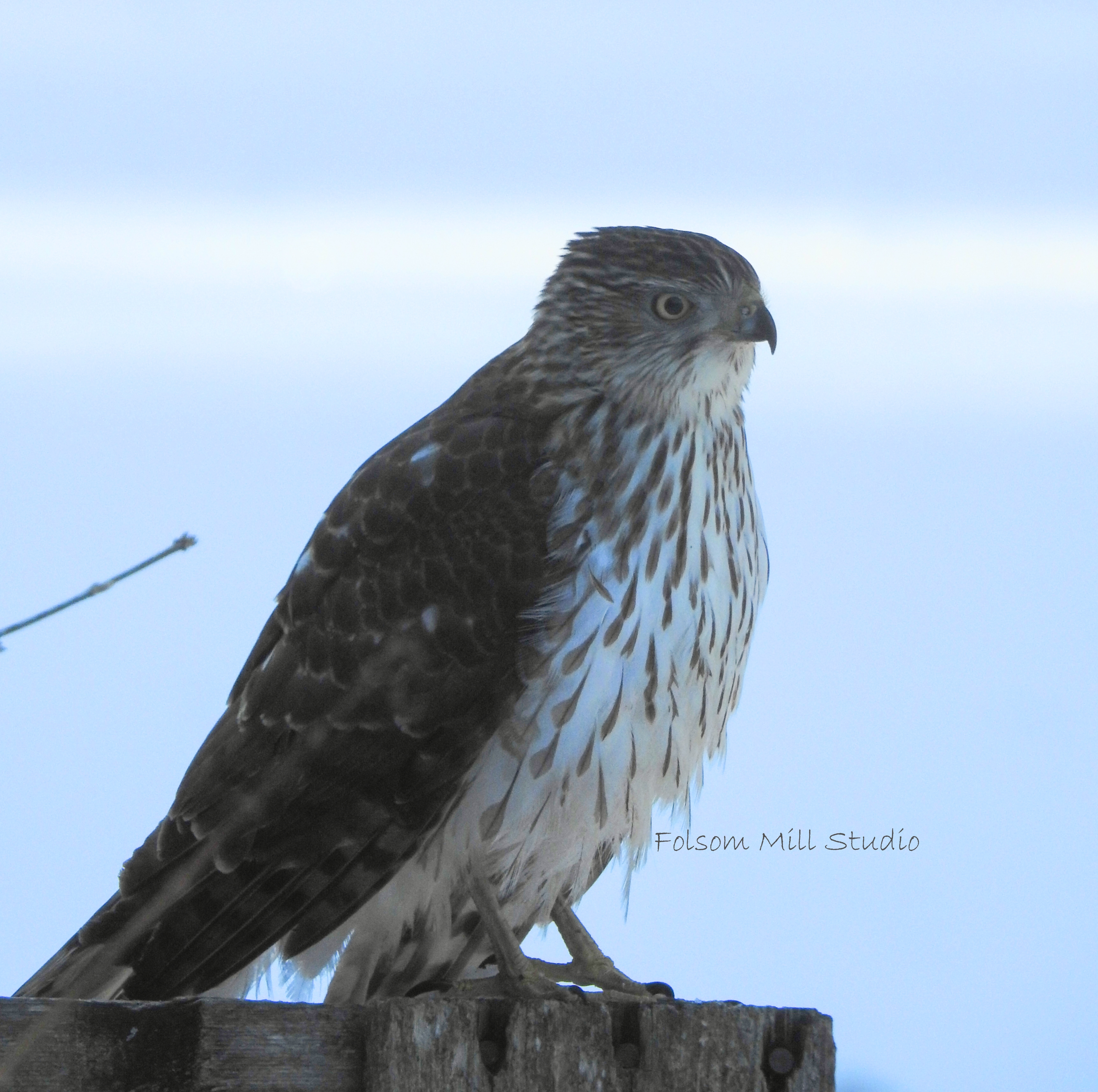 Side View of a visiting Cooper's Hawk