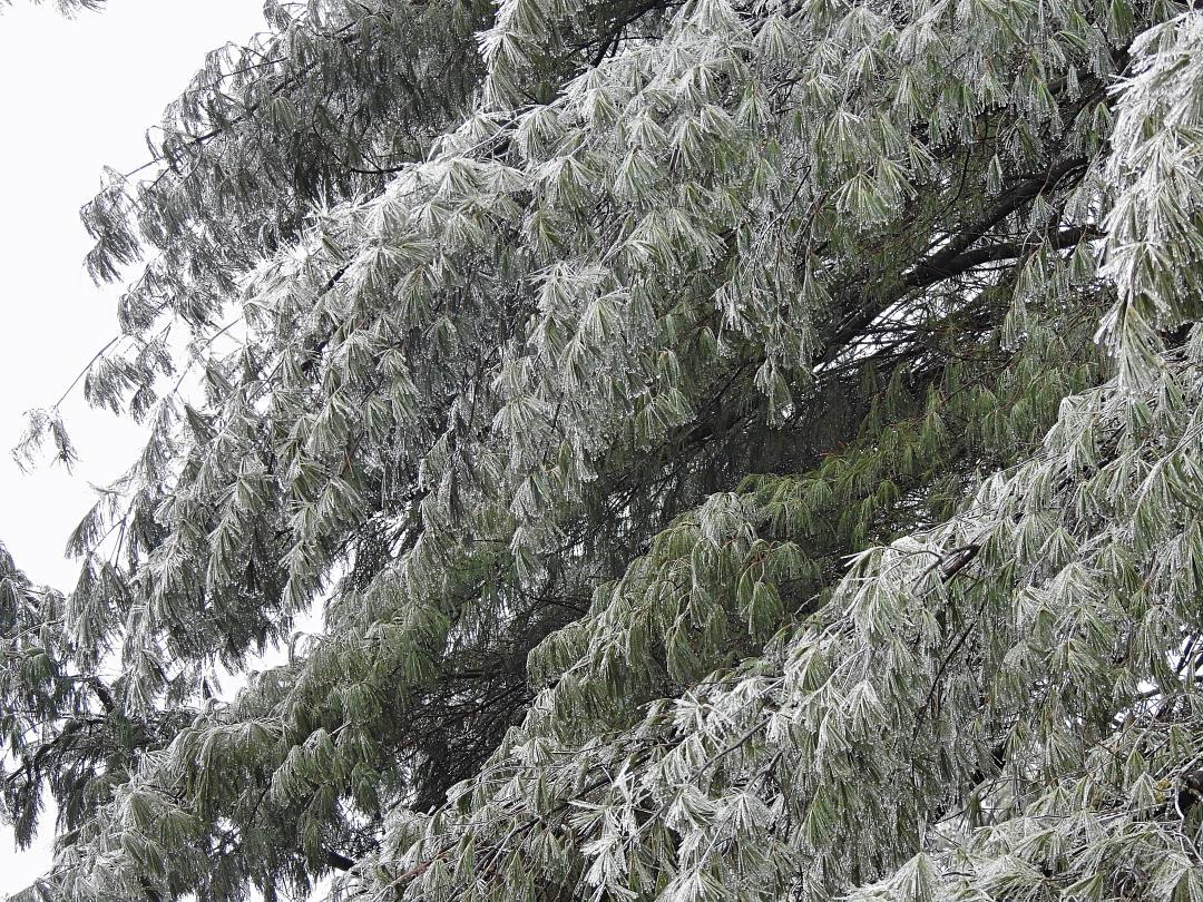 NH White Pine