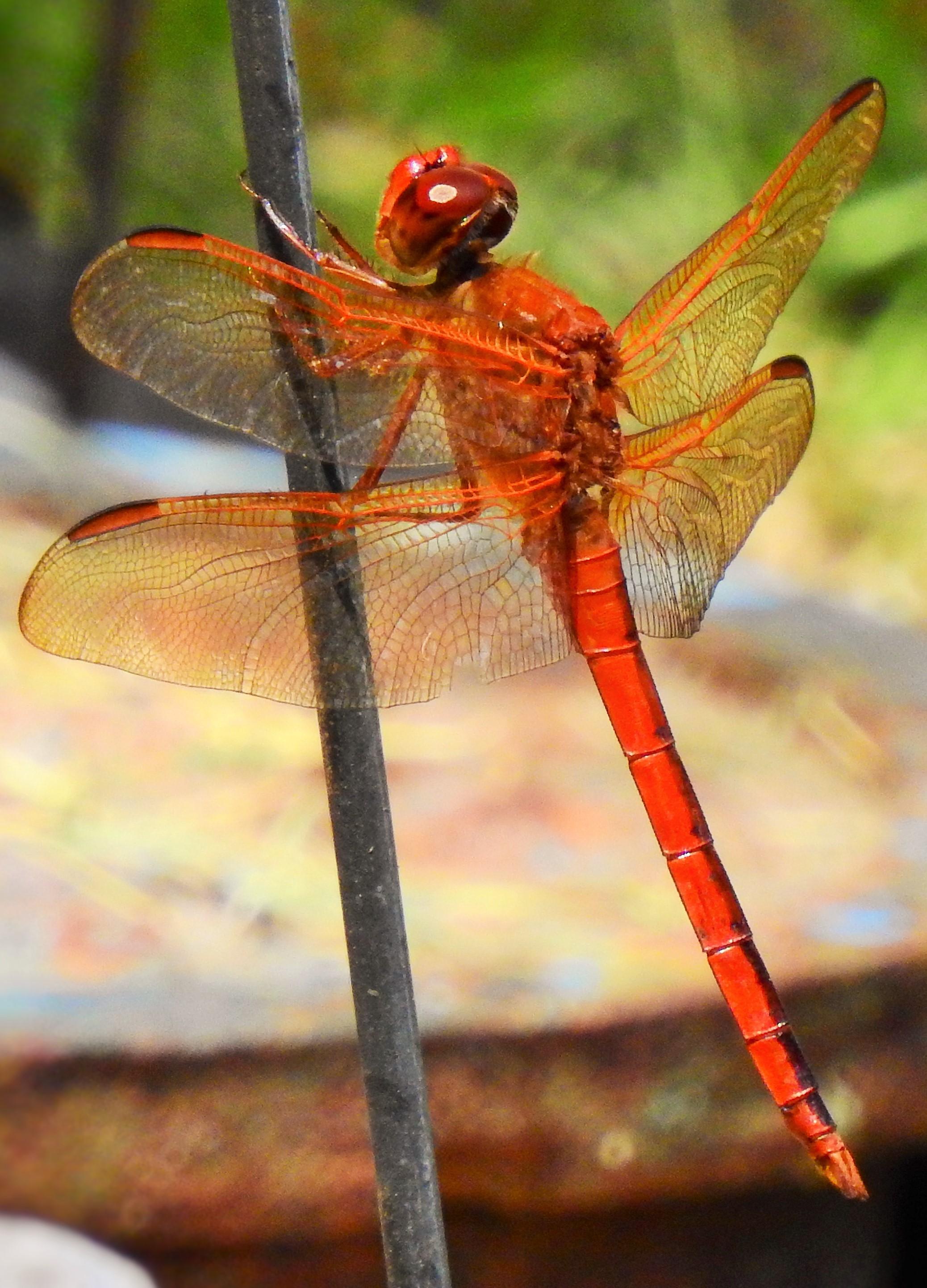 Cardinal Meadow-hawk Dragonfly