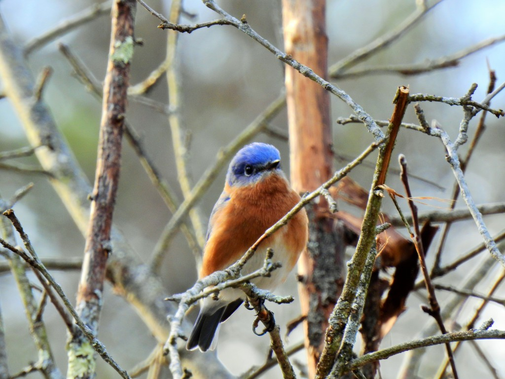 Eastern Bluebird is making a healthy comeback based on my yard.