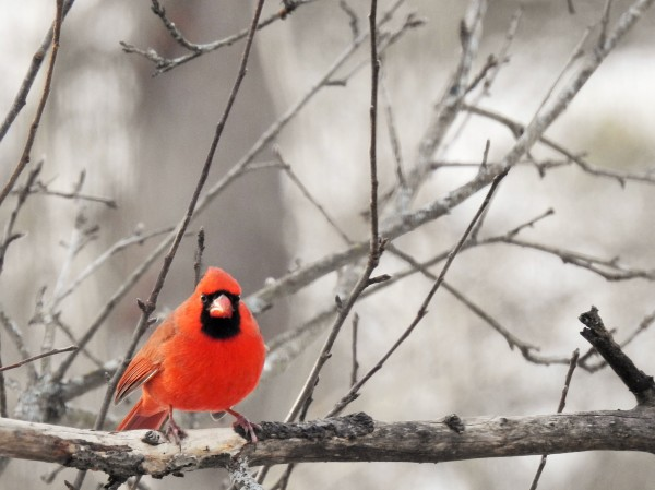 Male Cardinal perched on a branch.
