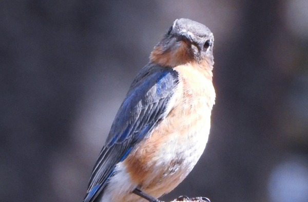 One of my visiting Bluebirds which are always trying to figure me out.
