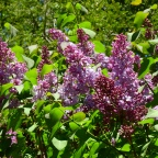 Lilacs Have Arrived