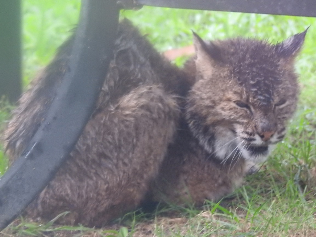 Crying Bobcat