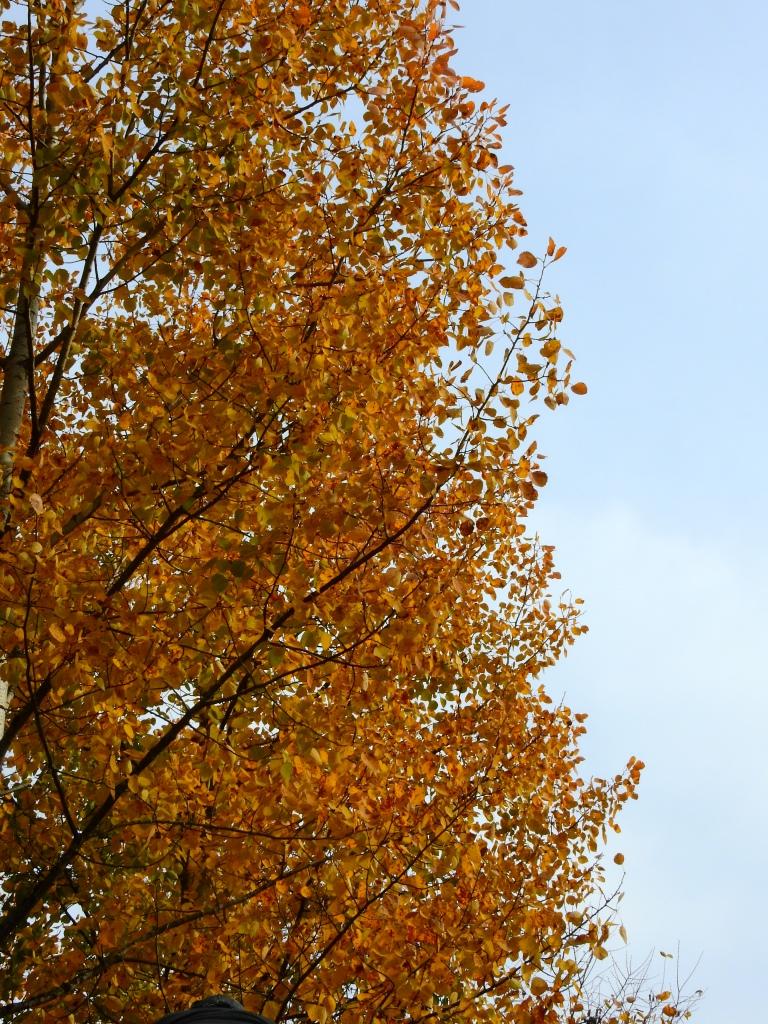 Poplar Tree in Autumn 2020