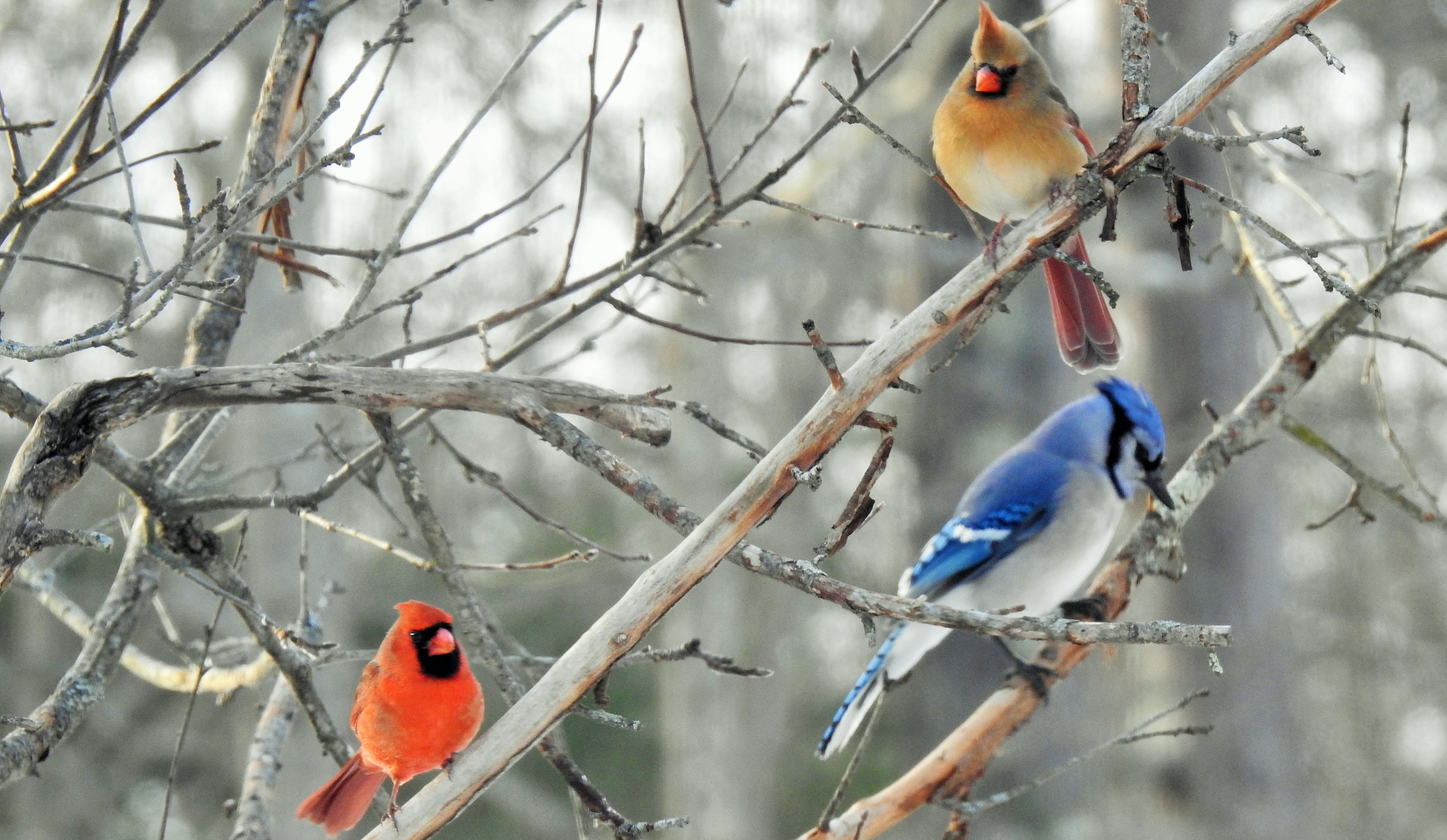Male and Female Northern Cardinals with Blue Jay