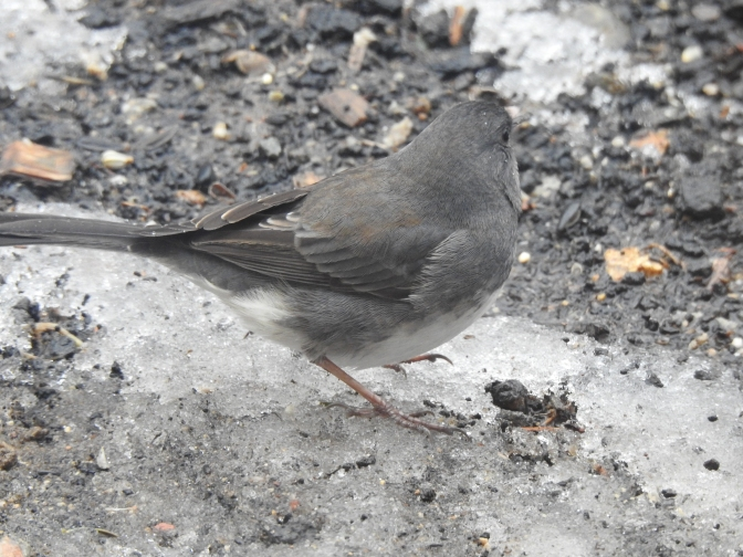 Visiting Dark Eyed Junco