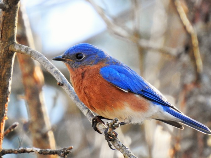 Male Eastern Bluebird in NH, USA