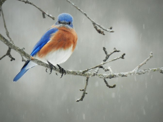 Eastern Bluebird on  National Bird Day 2021