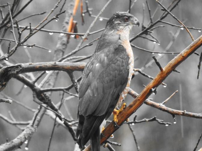 Cooper's Hawk in NH