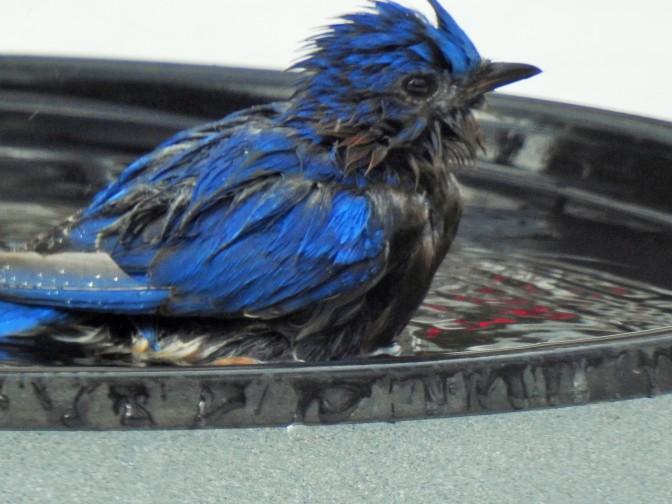 Easter Bluebird bathes