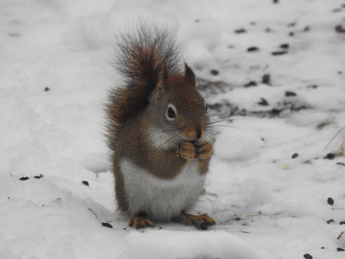 Red Squirrel in a NH winter.