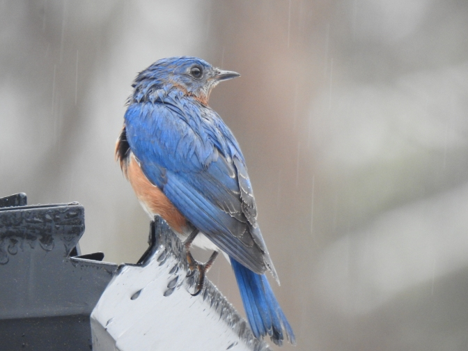 A wet Bluebird caught up in the late Feb. New England nasty weather.
