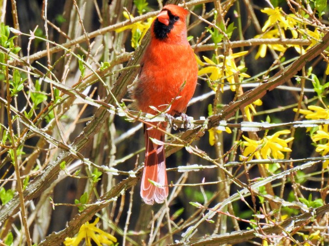 Male Northern Cardinal in NH